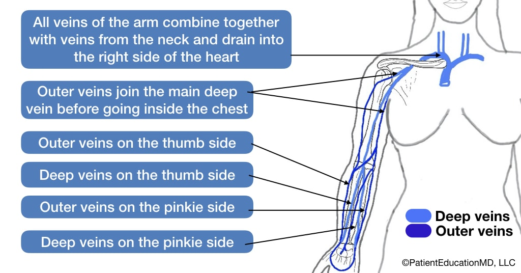 A diagram showing outer and deeper veins of the arm and how they combine with veins from the neck to drain into the right side of the heart.