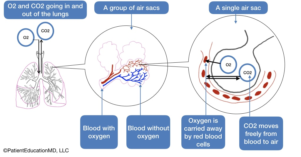 A diagram showing how oxygen and CO2 move inside air sacs in the lungs alongside blood.